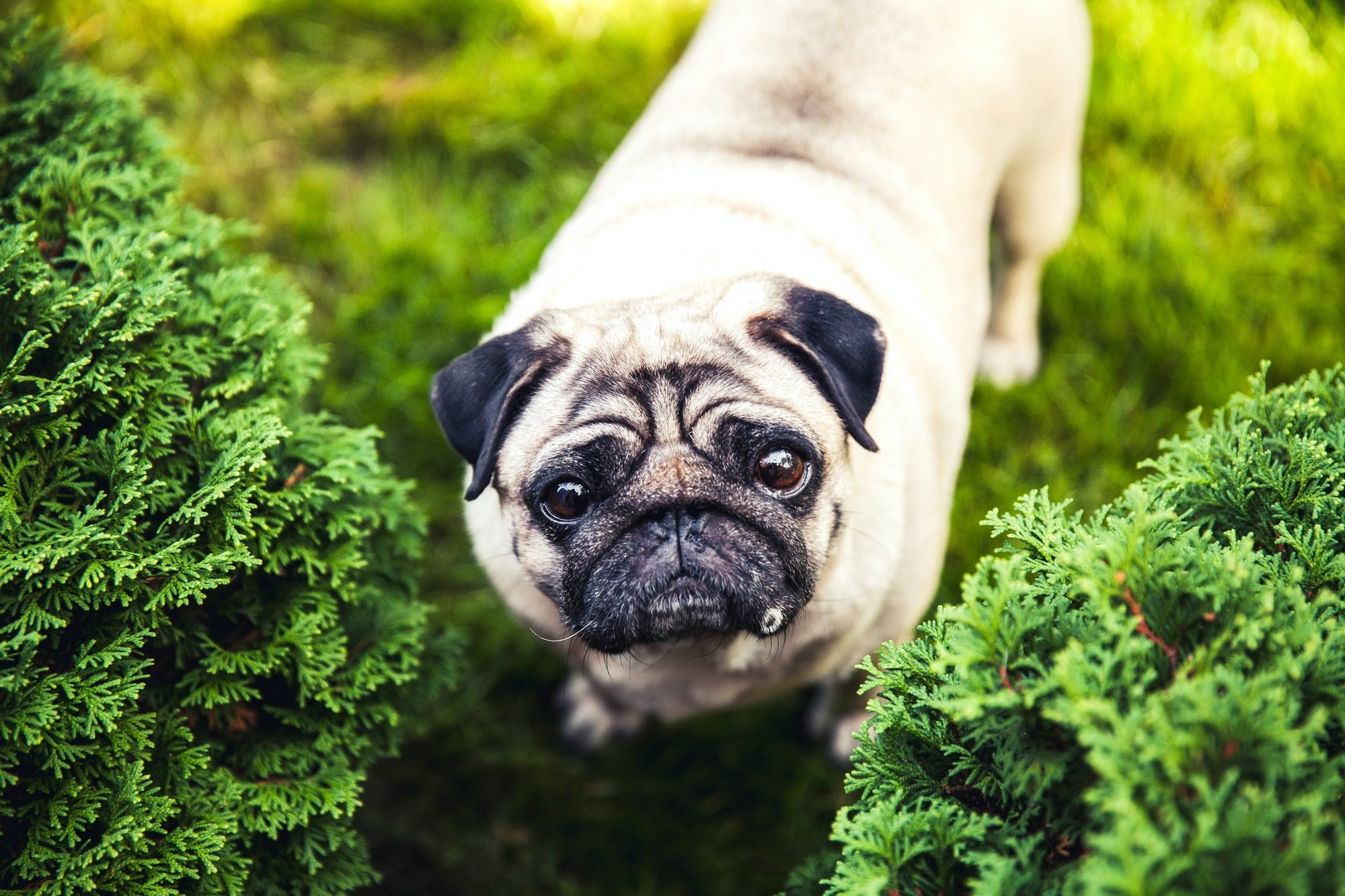 Funny pug on a grass in a summer park