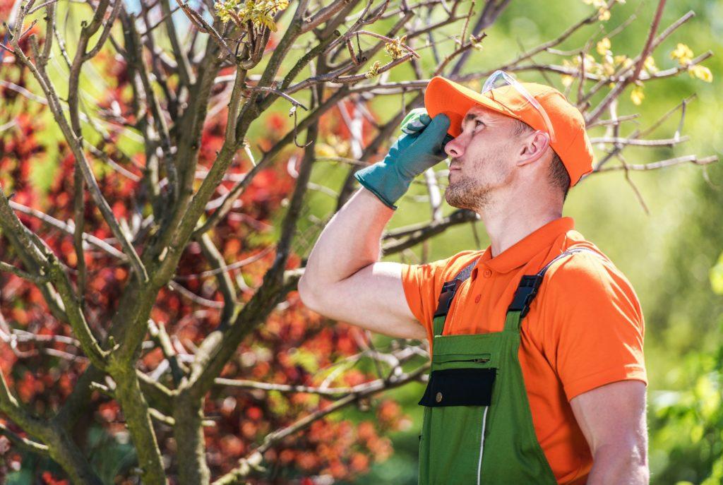 Gardener Worker Looking At Tree In Backyard.