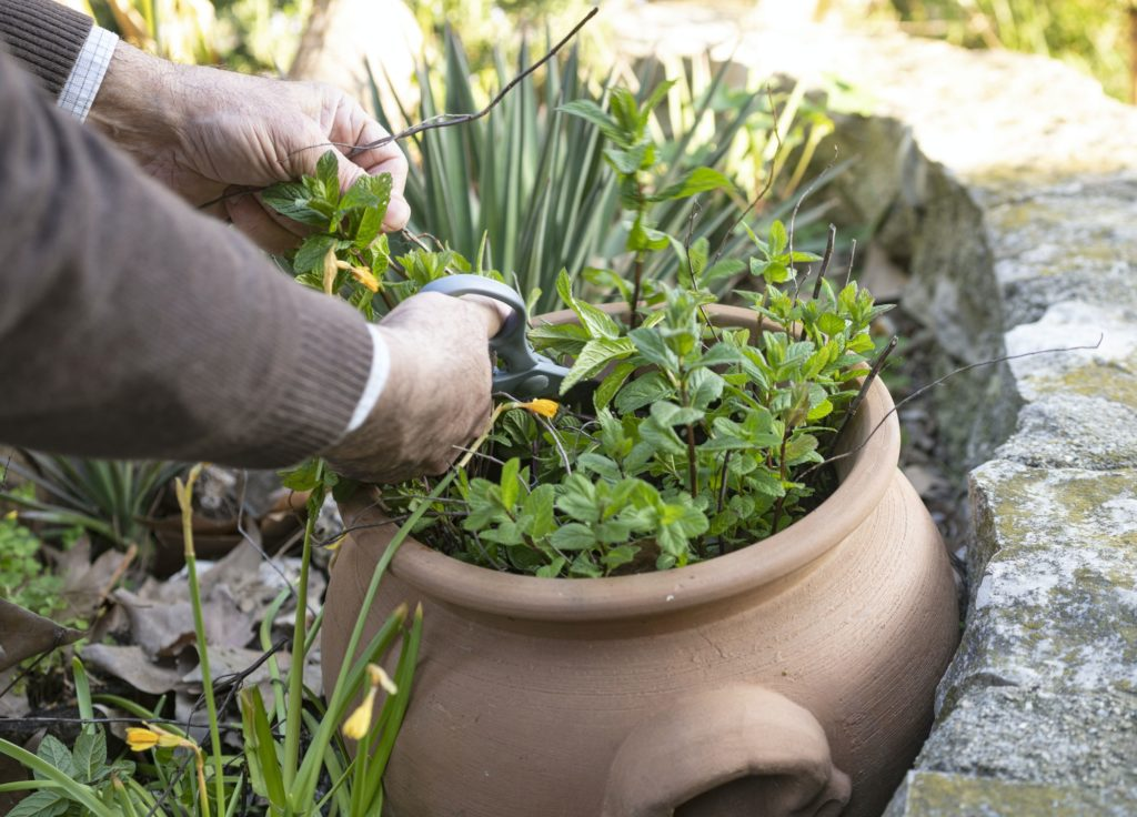 gardening the mint