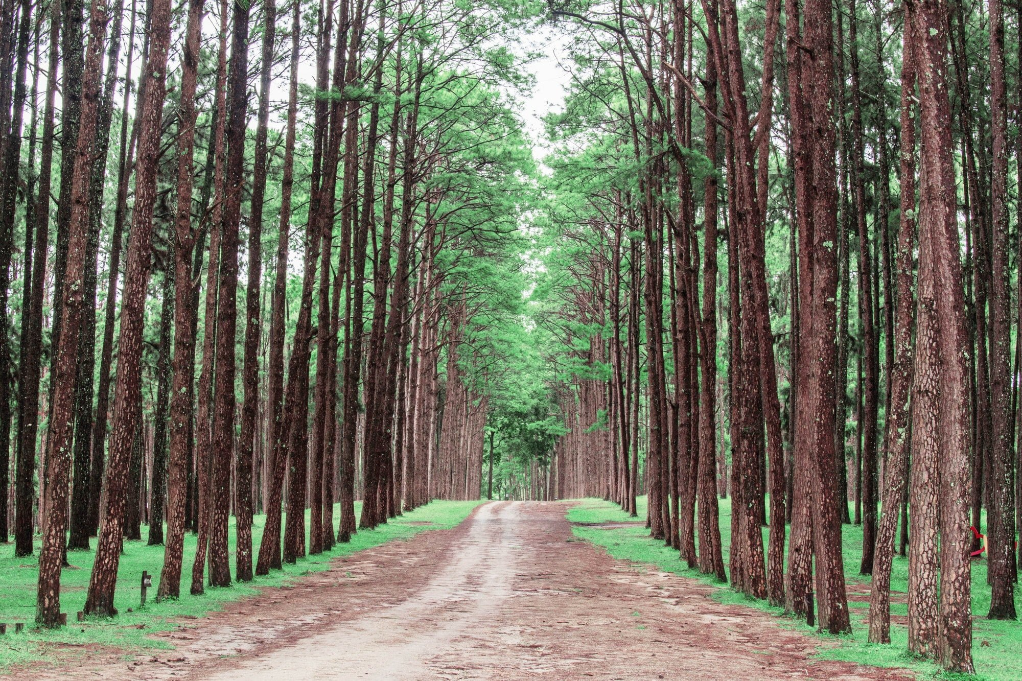 Pine groves in the jungle