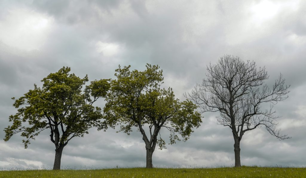 three trees, one is dead